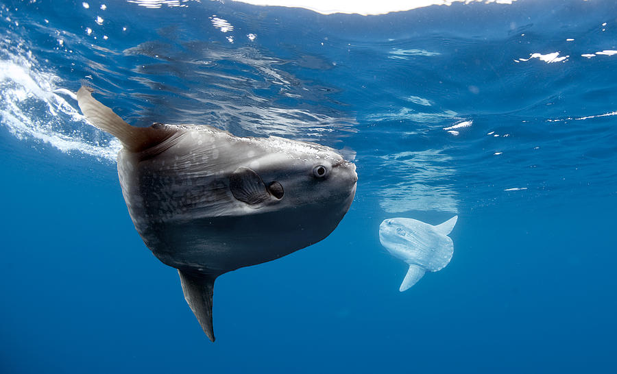 Photographer Captures Unusual Mola Mola Fish Photograph by Barcroft Media