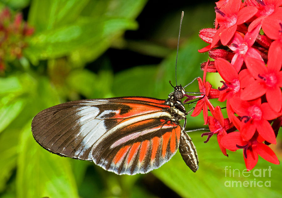 Black And Red Butterfly Photograph - Piano Key Butterfly by Millard H. Sharp