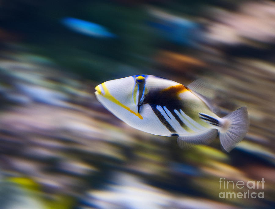 Picasso Fish Photograph - Picasso - Lagoon Triggerfish Rhinecanthus Aculeatus by Jamie Pham