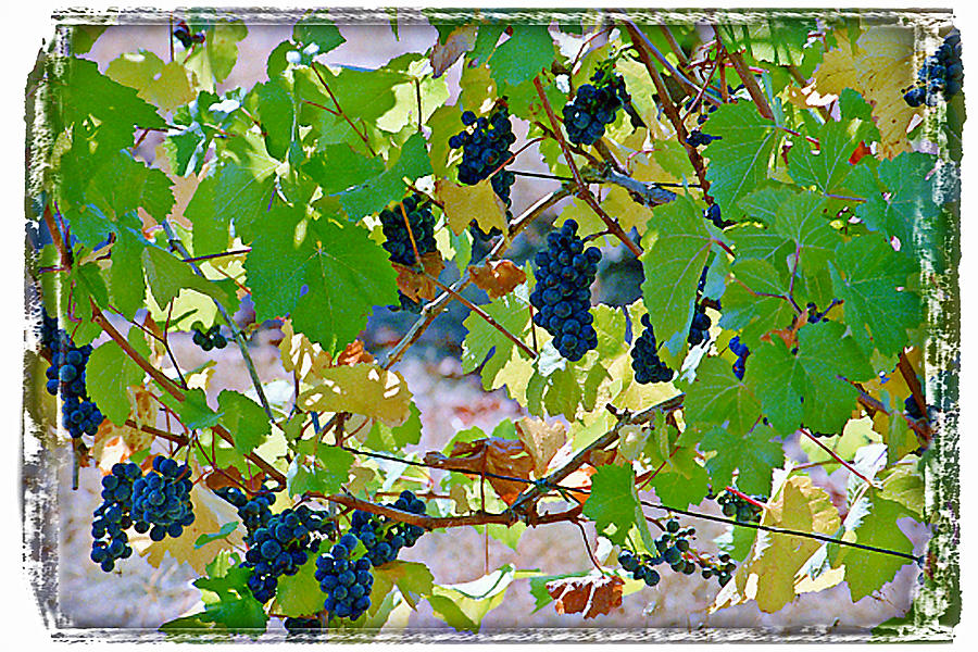 Wine Grapes Digital Art - Pick Me Stomp Me II by Ken Evans