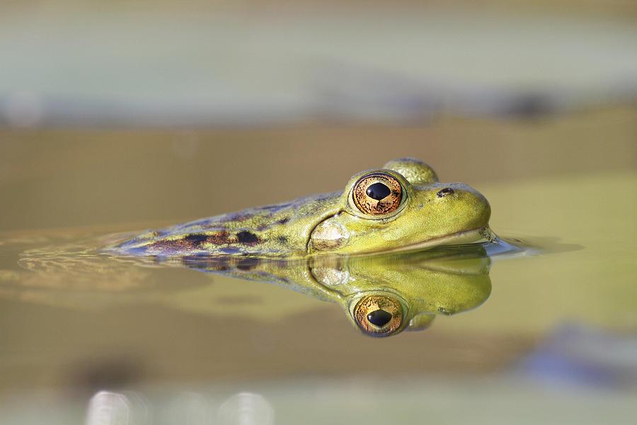 Pickerel Frog Nova Scotia Canada Photograph by Scott Leslie