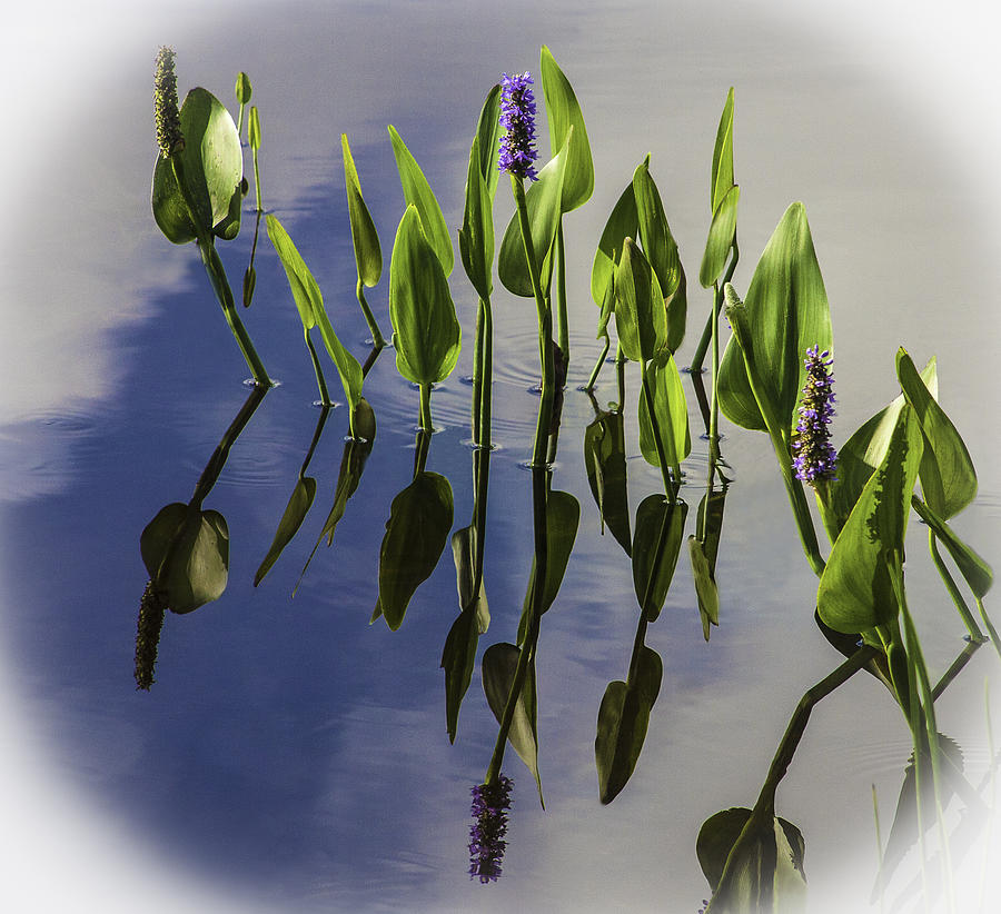 Photo Photograph - Pickerel Weed Vignetted In White by Karen Stephenson