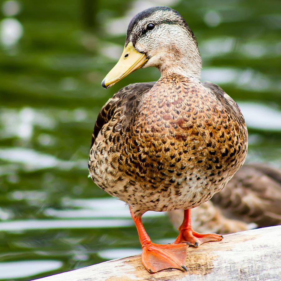 Mallord Photograph - Picture Perfect - Mallard Duck by Nikki Vig