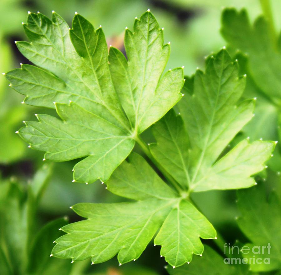 Cooking Photograph - Picture Perfect Parsley by French Toast