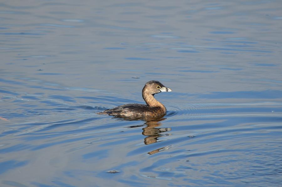 Pied-billed Grebe Photograph