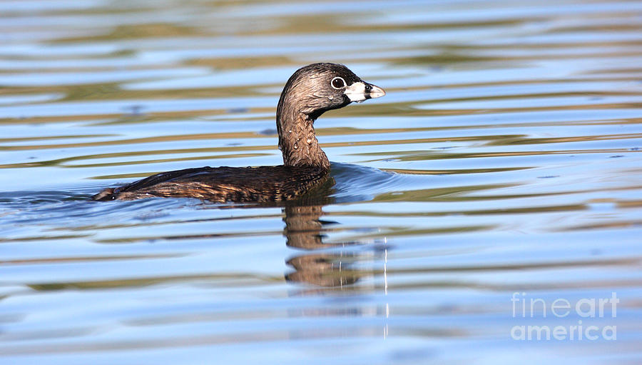 Grebe Photograph - Pied-billed Grebe by Ruth Jolly