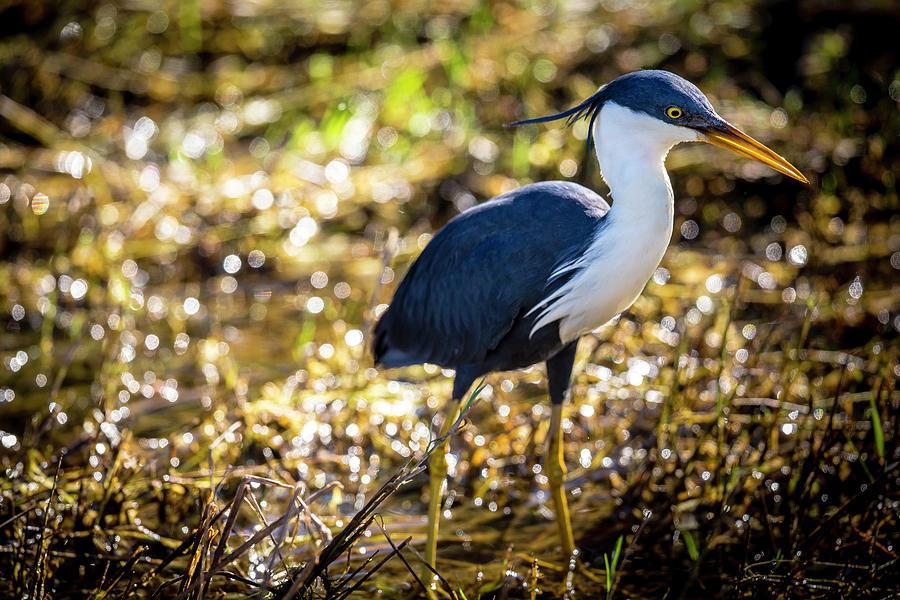 Pied Heron Ardea Picata Photograph by Richard Ianson