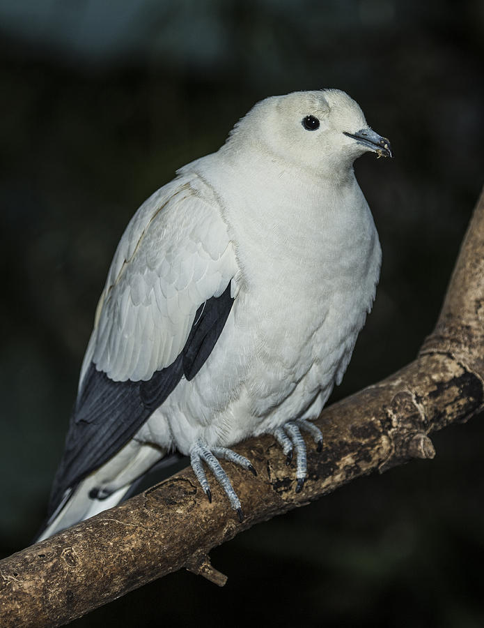 Aviary Photograph - Pied Imperial Pigeon by Gerald Murray Photography
