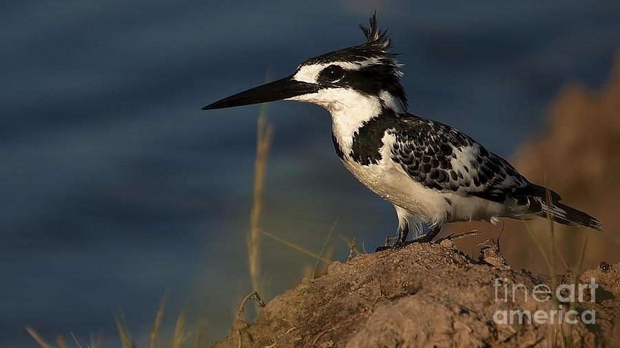 Pied Kingfisher by Mareko Marciniak