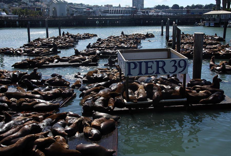 Seals Photograph - Pier 39 San Francisco Bay by Aidan Moran
