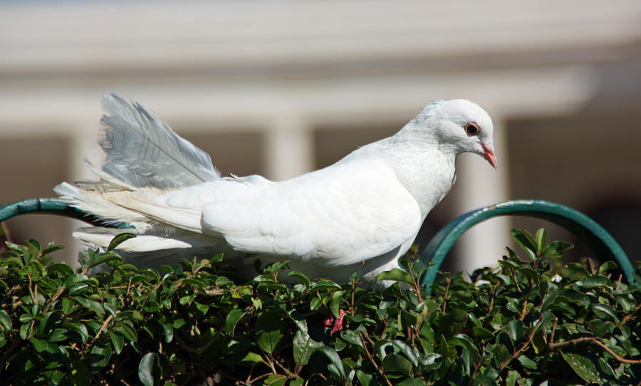 Pigeon Photograph - Pigeon by Dave Dos Santos