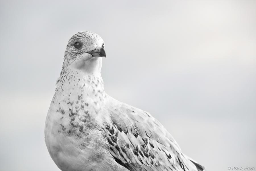 Bird Photograph - Pigeon Pride II by Nicola Nobile