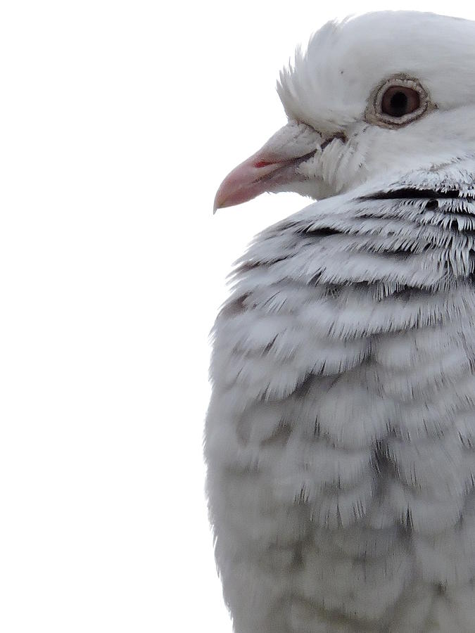 Pigeon Profile Photograph