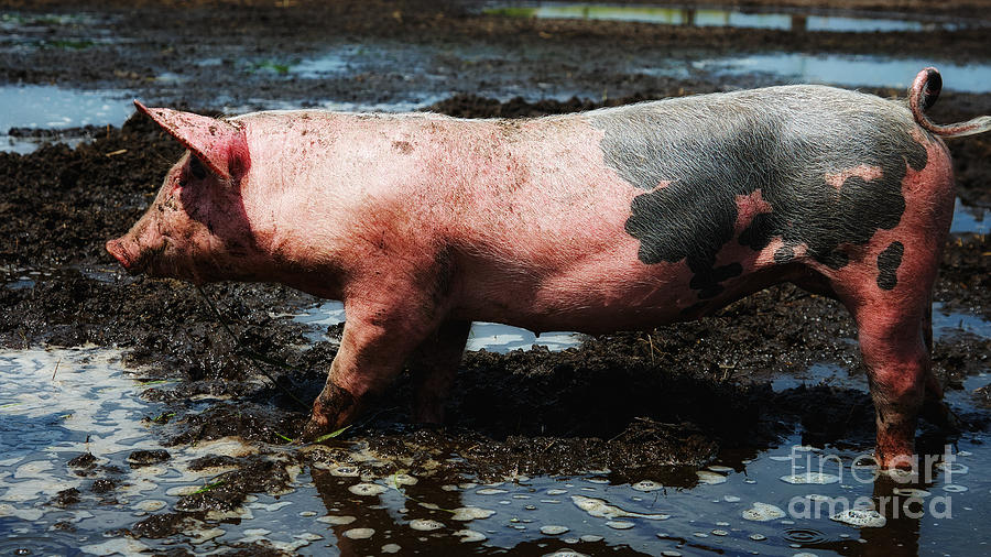 Piglet Standing In The Mud Photograph