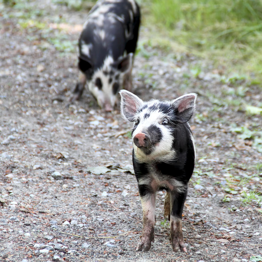 Piglets Photograph - Piglets On The Loose by Peggy Collins
