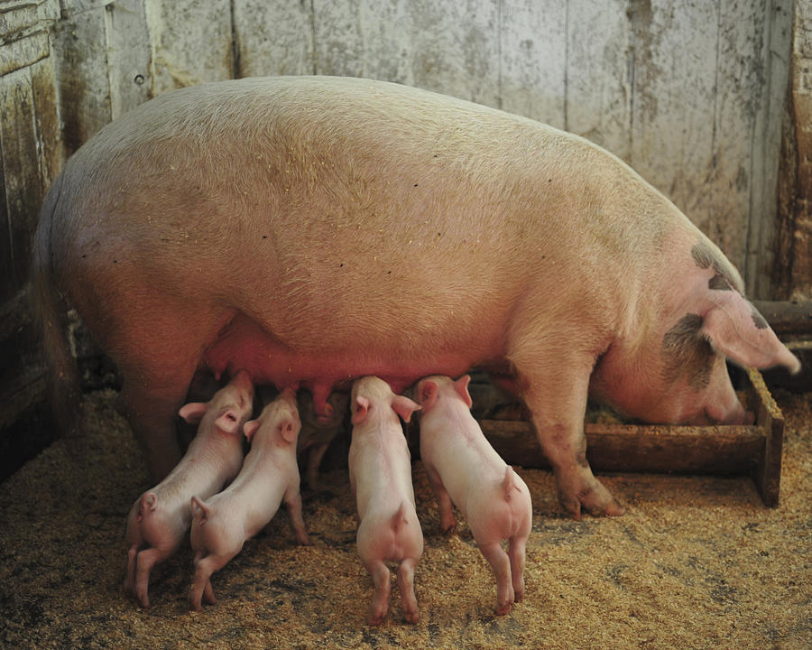 Piglets Photograph - Momma Pig And Piglets by Terry DeLuco