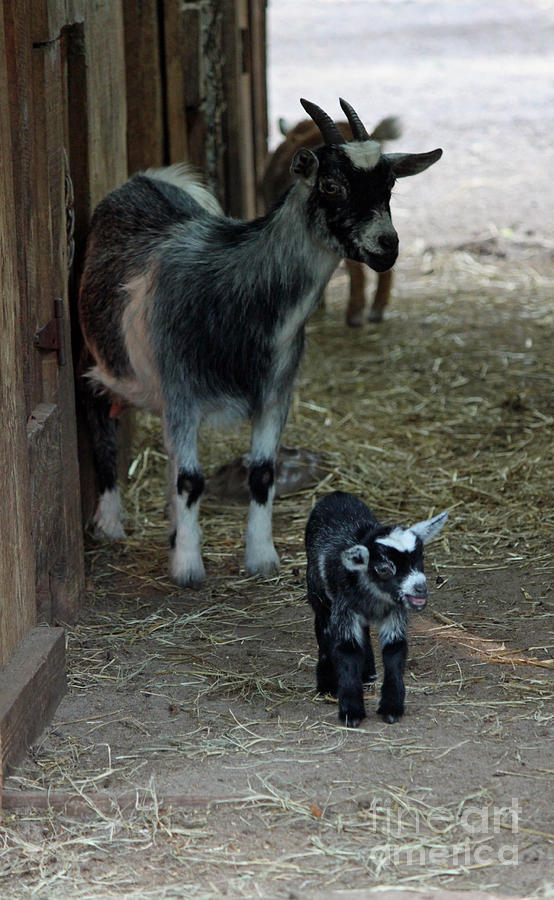 Photograph Photograph - Pigmy Goats by Suzanne Gaff