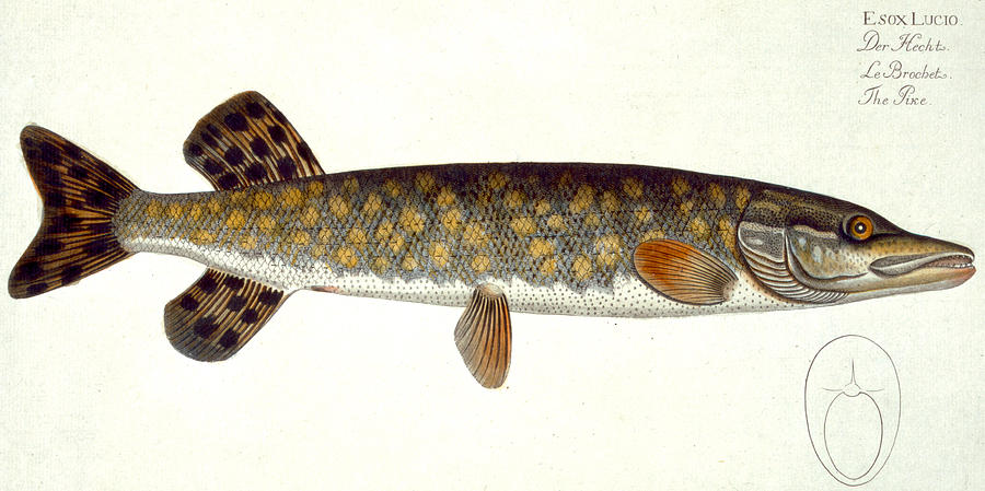 Fish Painting - Pike by Andreas Ludwig Kruger