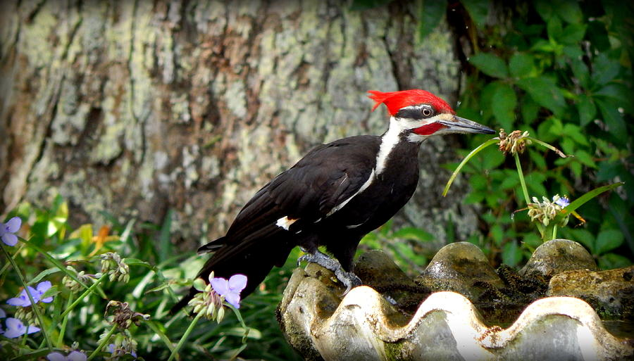 Pileated Woodpecker Photograph - Pileated Woodpecker by Lynn Griffin