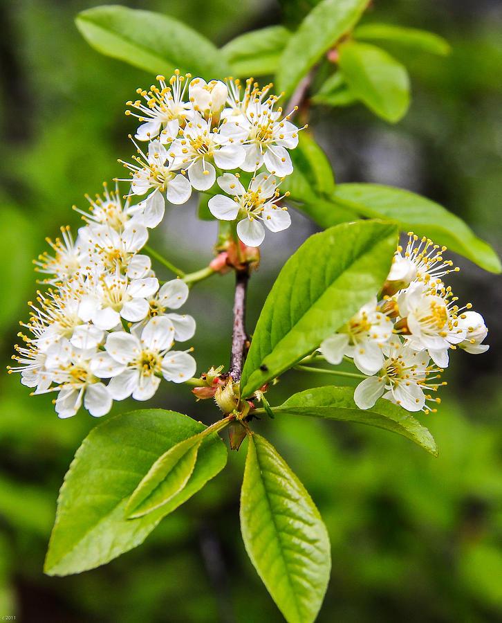 Susan Photograph - Pin Cherry Blossoms by Susan Crossman Buscho