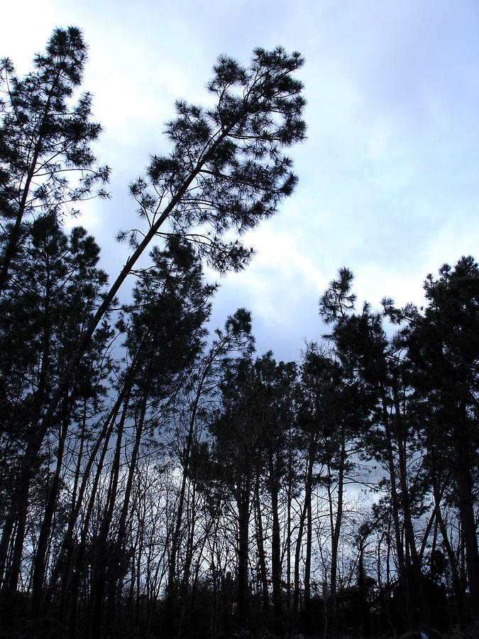 Nature Photograph - Pin Tree Sunset by Michel Mata