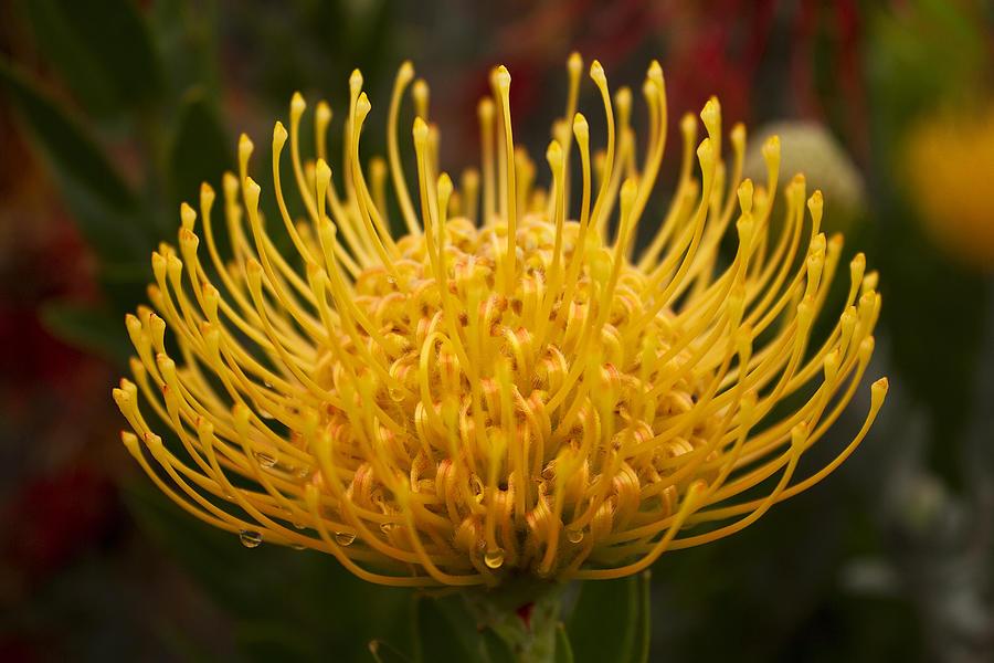 Pincushion Protea Leucospermum Cordifolium Photograph By Anna