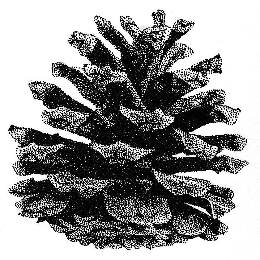 Still Life Drawing - Pine Cone by Rob Christensen