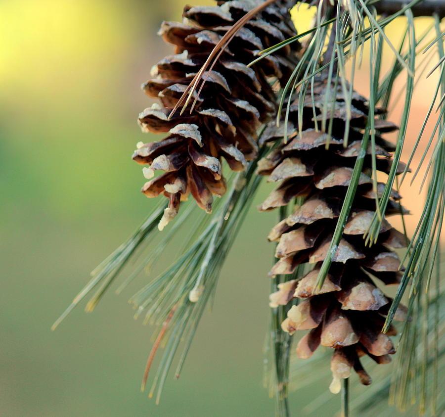 Pine Cones Photograph - Pine Cones Duo by Rosanne Jordan