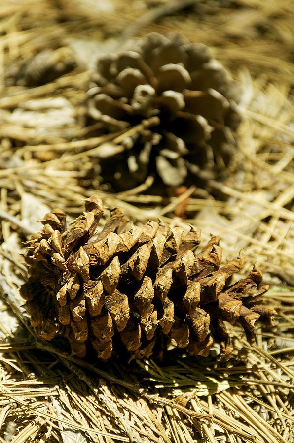 Pine Cones In The Valley-yosemite Series 30 Photograph by David Allen Pierson