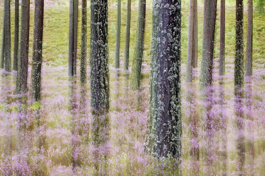 Pine Forest And Heather Cairngorms Np Photograph by Sebastian Kennerknecht