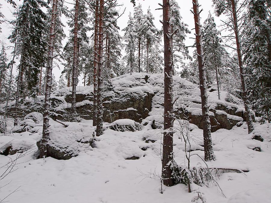 Lehto Photograph - Pine Forest Winter by Jouko Lehto