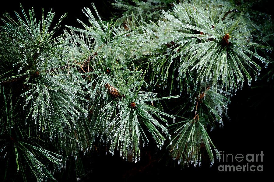 Tree Photograph - Pine Needles In Ice by Betty LaRue