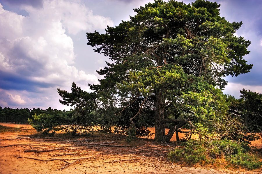 Netherlands Photograph - Pine Tree In Hoge Veluwe National Park 1. Netherlands by Jenny Rainbow