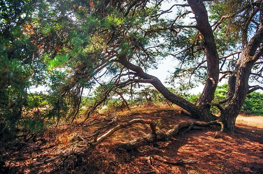Netherlands Photograph - Pine Tree In Hoge Veluwe National Park 2. Netherlands by Jenny Rainbow