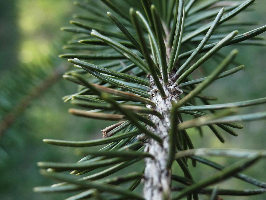 Pine Tree Leaves by Bhumi Patel