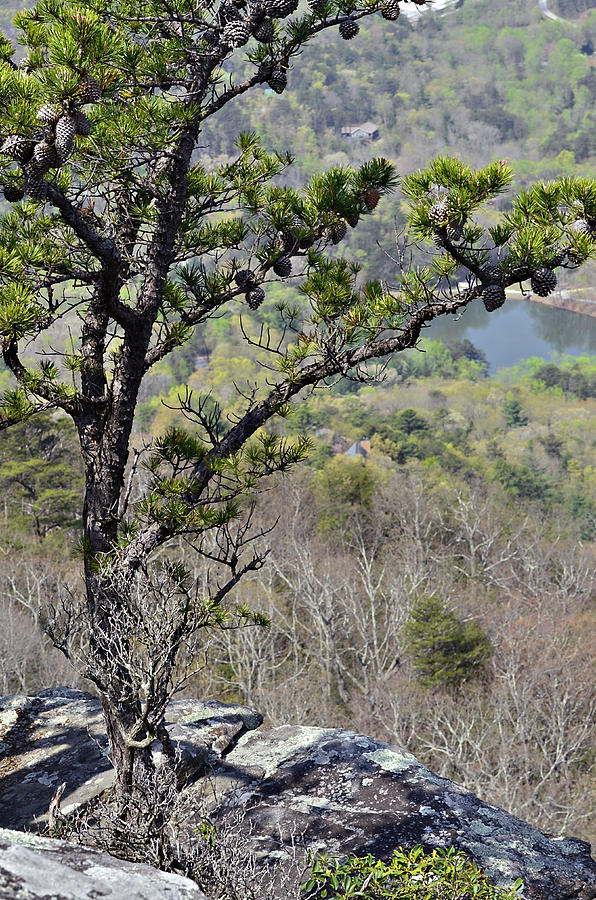 Nature Photograph - Pine Tree On A Mountain by Susan Leggett
