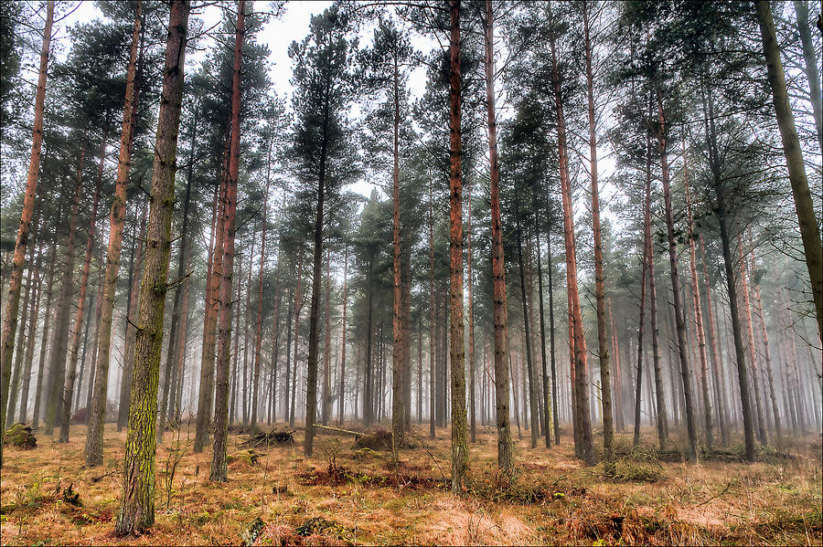 Pine Photograph - Pine Trees In Morning Fog by EXparte SE