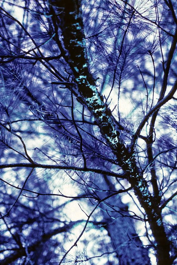 Pine Trees Redux In Blue by Carol Whaley Addassi