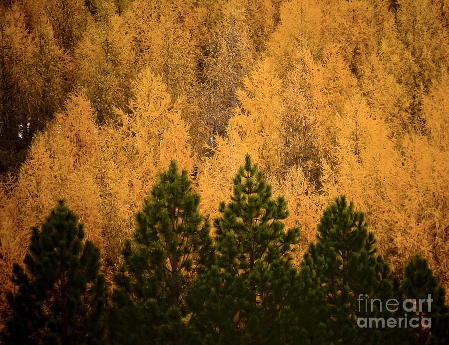 Abstract Photograph - Pine Trees by Tim Hester