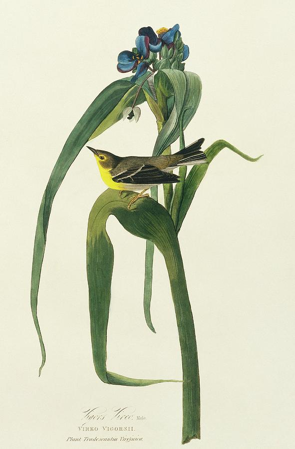 Illustration Photograph - Pine Warbler by Natural History Museum, London/science Photo Library
