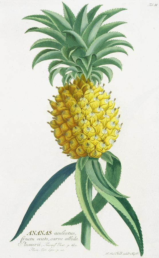 Fruit; Exotic; Tropical; Ananas; Botanical Painting - Pineapple Engraved By Johann Jakob Haid by German School