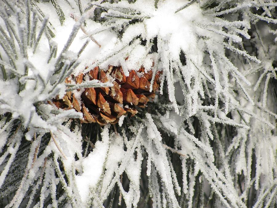 Snow Photograph - Pinecone In Snow by Steven Parker