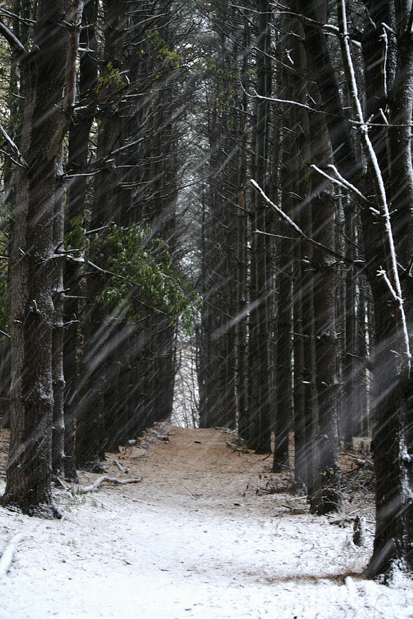 Landscapes Photograph - Pines In Snow by Matthew Pace