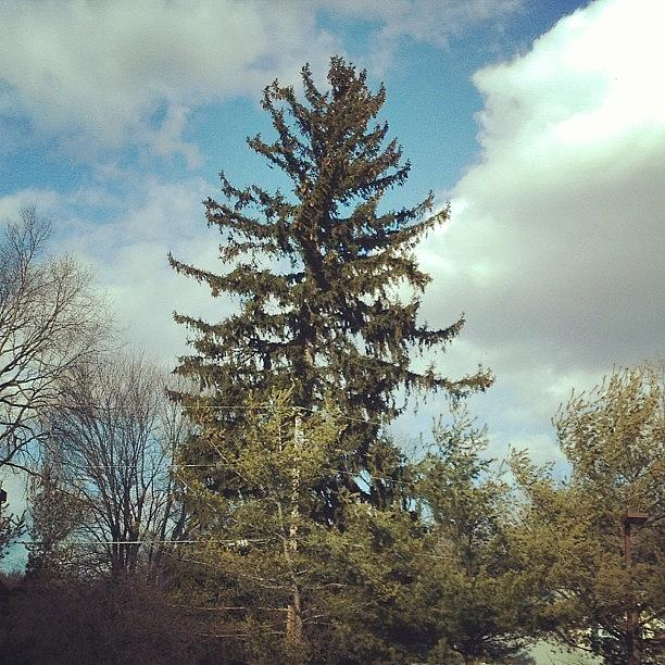 Evergreen Photograph - #pinetree #bluesky #green #evergreen by Amber Campanaro