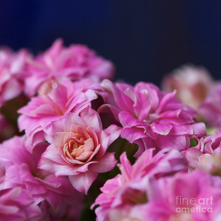 Flower Photograph - Pink And Blue II by Pamela Gail Torres