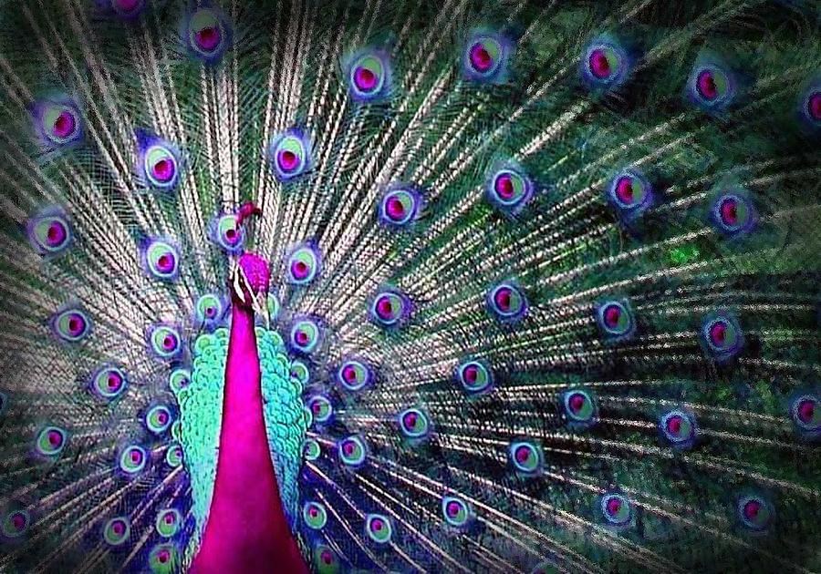 Bird Digital Art - Pink And Blues Peacock by Diana Shively