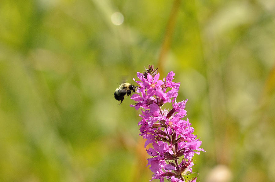 Bee Photograph - Pink And Gold by David Porteus