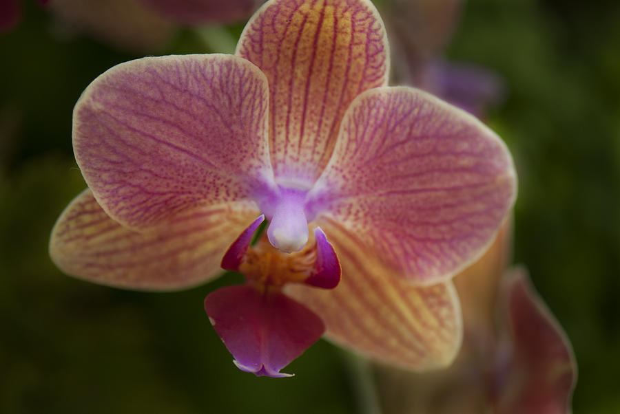 Pink And Orange Orchid Photograph by Clifford Pugliese