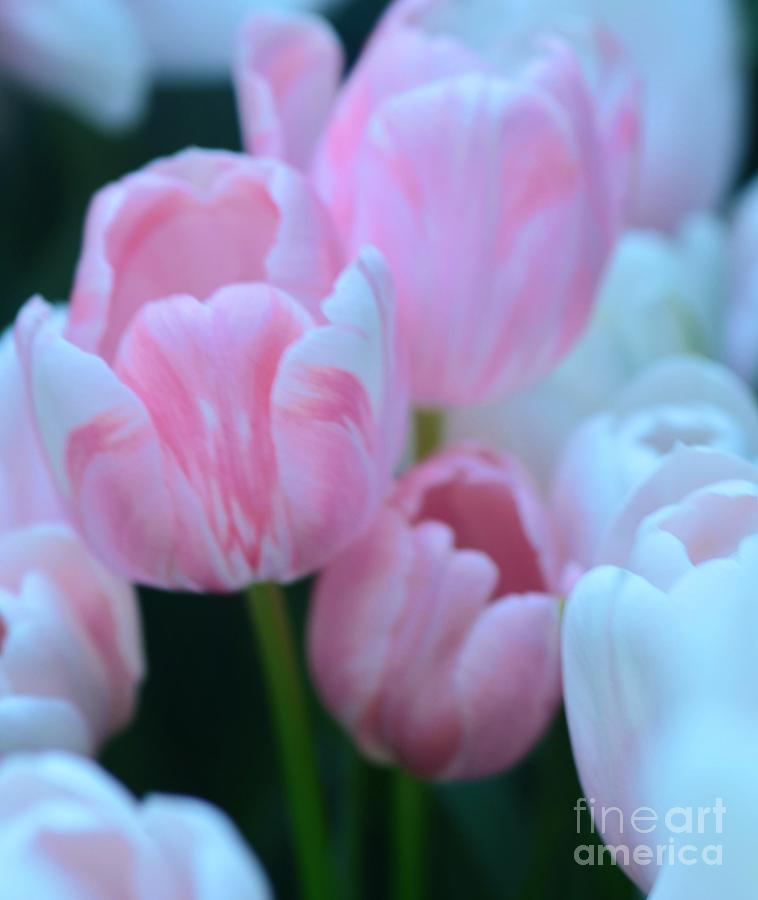 Tulip Photograph - Pink And White Tulips by Kathleen Struckle