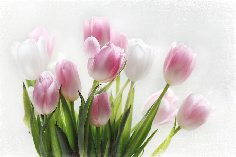 Pink And White Tulips Photograph by Sylvia Cook